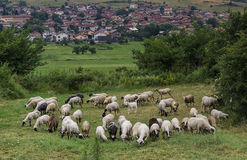 Flock of sheep grazing grass Stock Photo