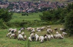 Flock of sheep grazing grass Stock Photo