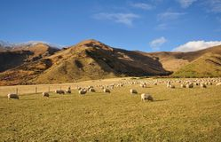 Flock of Sheep grazing a grass. In New Zealand stock photo