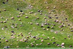 Flock of sheep grazing on a grass slope royalty free stock photos