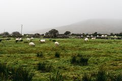 Flock of sheeps grazing in green field. Flock of sheep grazing in green field against misty hill Royalty Free Stock Images
