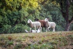 Flock of sheep grazing on a green field. Flock of sheep grazing on a green field Royalty Free Stock Photo