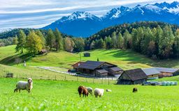 Flock Of Sheep Grazing On A Green Field royalty free stock photo