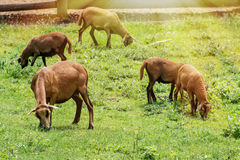 Flock of sheep grazing on green grass Royalty Free Stock Photos