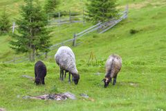 A flock of sheep grazing on green grass in a mountain valley with a beautiful summer landscape stock image