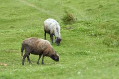 A flock of sheep grazing on green grass in a mountain valley with a beautiful summer landscape stock photo