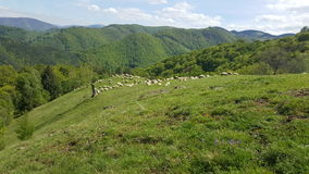 A flock of sheep grazing the green grass in the mountains Royalty Free Stock Photo