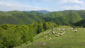 A flock of sheep grazing the green grass in the mountains. Nature Stock Photos