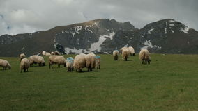 The flock of sheep grazing on a green lawn near the snow mountains. Two dozen animals unattended eat grass at the foot of the hills stock footage