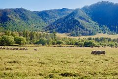 Flock of sheep grazing on green meadow surrounded by forest-covered Altai mountains. Russia Royalty Free Stock Image