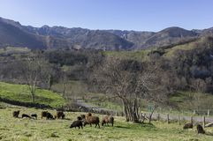 Flock of sheep grazing in the green meadows of Asturias stock image
