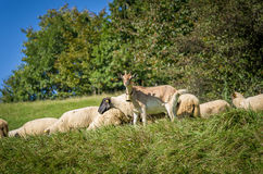 flock of sheep grazing on green pasture Royalty Free Stock Photos