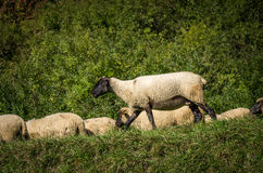 flock of sheep grazing on green pasture Stock Image