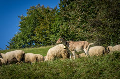 flock of sheep grazing on green pasture Royalty Free Stock Photo