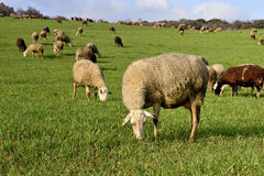 Flock of sheep grazing in a green pasture Stock Photo