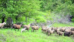 Flock of Sheep Grazing on Hill Pastoral Landscape stock video footage