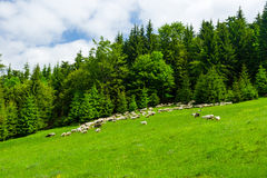 A flock of sheep grazing on the hill Royalty Free Stock Image