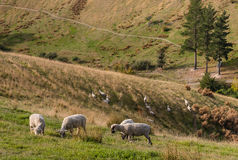 Flock of sheep grazing on hill Stock Photo