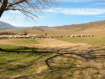 A flock of sheep grazing on the hill Stock Images