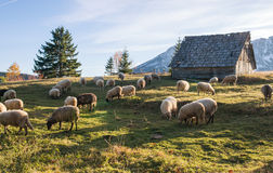 Flock of sheep grazing. In a hill at sunset Royalty Free Stock Photography