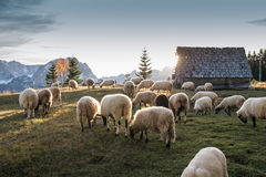 Flock of sheep grazing Stock Images