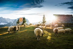Flock of sheep grazing. In a hill at sunset Royalty Free Stock Photos