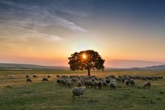Flock of sheep grazing in a hill at sunset. Royalty Free Stock Images