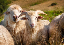Flock of sheep grazing on the hills Stock Image