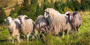 Flock of sheep grazing on the hills Stock Photos