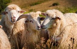 Flock of sheep grazing on the hills Stock Images
