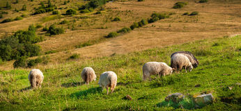Flock of sheep grazing on the hills Royalty Free Stock Images