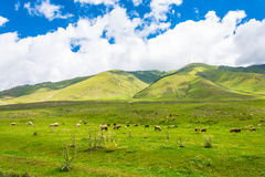 Flock of sheep grazing on the hillside, Kyrgyzstan. Royalty Free Stock Photos
