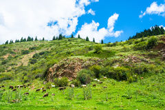 Flock of sheep grazing on the hillside, Kyrgyzstan. Royalty Free Stock Photo