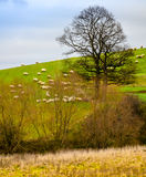 Flock Of Sheep grazing on a hillside under a big bare tree. Autumn late afternoon, Belgium country side Royalty Free Stock Images