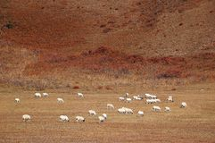 Flock of sheep in grazing land. In autumn royalty free stock photo