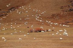Flock of sheep in grazing land. In autumn stock images
