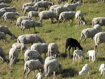 Flock with sheep grazing Stock Images