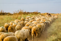 Flock of Sheep Grazing Royalty Free Stock Image