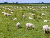 Flock of sheep grazing on a meadow in flat Dutch landscape with trees on the horizon. royalty free stock images