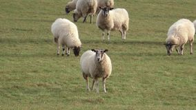 Flock of Sheep grazing in a meadow stock video