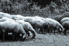 Flock of sheep grazing in a meadow greyscale view. Azerbaijan. Lerik Stock Photography