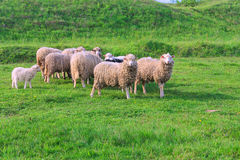 Flock of sheep grazing in the meadow Royalty Free Stock Photo