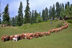 A flock of sheep grazing at a meadow in Naran Valley, Pakistan stock photography