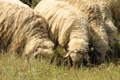 Flock of sheep grazing on meadow Stock Images