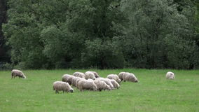A flock of sheep grazing in the meadow stock footage