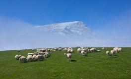 Flock of sheep grazing in a meadow with snowy mountain Stock Photos