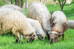 Flock of sheep grazing Stock Photography