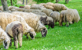 Flock of sheep grazing. In the meadow, in the spring when the first flowers appear from the grass. Sheep type Pramenka typical for Balkan region Stock Photo