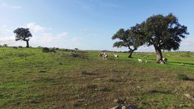 Flock of Sheep Grazing in Meadow stock footage
