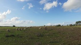 Flock of Sheep Grazing in Meadow stock video footage
